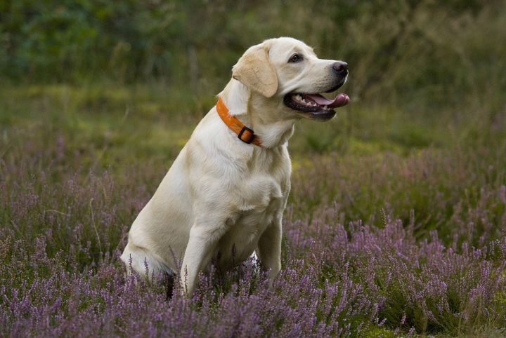 best breeds for psychiatric service dogs