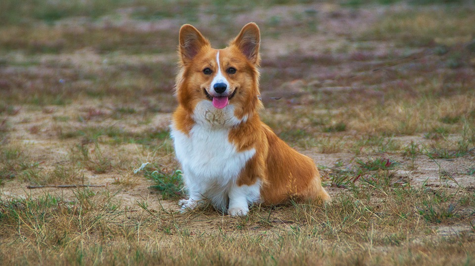 Best Puppy Food for Corgis